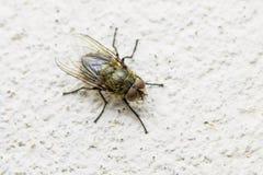 Diptera het Insect van de Vleesvlieg op Muur stock foto's