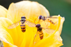 Diptera syrphidae insects. Close up of diptera syrphidae insects on the flowers Royalty Free Stock Images