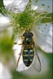 Diptera syrphidae volucella Royalty Free Stock Image