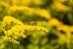 Diptera in the yellow flowers Stock Photo