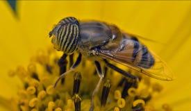 Dipteran Lizenzfreies Stockfoto