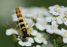 Dipteran like wasp Royalty Free Stock Image