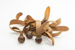 dipterocapus alatus种子  库存照片