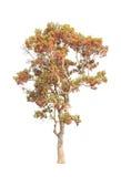 Dipterocapus Intricatus, árvore tropical de florescência imagens de stock royalty free