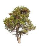 Dipterocapus Intricatus, tropische boom Royalty-vrije Stock Foto