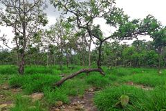 Dipterocarp or deciduous forest in north east of Thailand. Dipterocarp or deciduous forest will fall leaves on dry season but will bloom again on rainy season Stock Photography