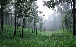 Dipterocarp forest Royalty Free Stock Images