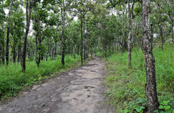 Dipterocarp forest, Thailand Stock Photo