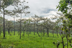Dipterocarp forest, Stock Images