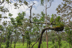 Dipterocarp forest, Royalty Free Stock Image