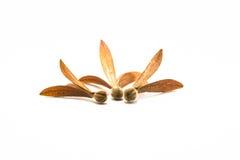 Dipterocarpaceae Royalty-vrije Stock Afbeeldingen