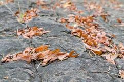 Dipterocarpus飞过的种子  免版税库存照片