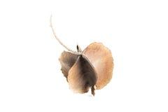 Dipterocarpus Fotografia de Stock
