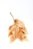 Dipterocarpus Foto de Stock Royalty Free