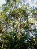 Dipterocarpus Fotografering för Bildbyråer