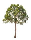 Dipterocarpus alatus,在白色背景隔绝的热带树 库存图片