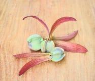 Dipterocarpus alatus,飞过的种子 免版税库存照片