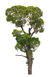 Dipterocarpus alatus, tropical tree. Stock Photo