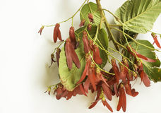 Dipterocarpus intricatus red flowers on a white background Stock Photography