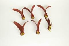 Dipterocarpus-intricatus rote Blumen auf altem Holz lizenzfreies stockbild