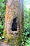 Dipterocarpus träd arkivbilder