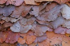 Dipterocarpus-tuberculatus, getrocknete Blattart lizenzfreie stockbilder