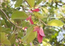 Dipterocarpus turbinatus Royaltyfria Foton