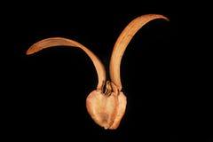 Dipterocarpusalatus royalty-vrije stock fotografie