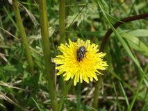 Dipterous gray striped fly on a dandelion. royalty free stock images