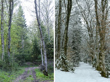 Diptych showing winter and spring in woodland Royalty Free Stock Image