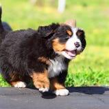 Diputado Dog Fotografía de archivo libre de regalías
