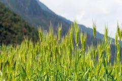 DIQING, КИТАЙ - 17-ОЕ МАРТА 2015: Пшеничное поле известная тибетская вилла Стоковые Фото