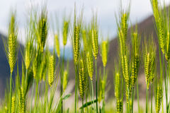 DIQING, КИТАЙ - 17-ОЕ МАРТА 2015: Пшеничное поле известная тибетская вилла Стоковое Фото