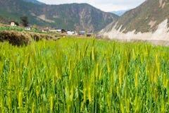 DIQING, КИТАЙ - 17-ОЕ МАРТА 2015: Пшеничное поле известная тибетская вилла Стоковое Изображение RF