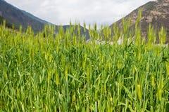 DIQING, CHINE - 17 MARS 2015 : Champ de blé une villa tibétaine célèbre Photographie stock libre de droits