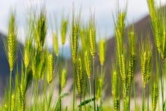 DIQING, CHINE - 17 MARS 2015 : Champ de blé une villa tibétaine célèbre Photo stock