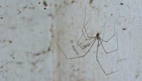 Αράχνη και βρώμικος ιστός αράχνης στον τοίχο  είναι η αιτία του dir Στοκ φωτογραφία με δικαίωμα ελεύθερης χρήσης