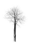 Dir tree Royalty Free Stock Photography