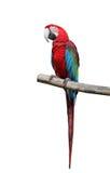 Dire coloré de perroquet. photo libre de droits