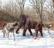 Dire Wolves Hunting Juvenile Woolly Mammoth. An illustration of Dire Wolves attacking a young Woolly Mammoth. The dire wolf is an extinct carnivorous mammal of Royalty Free Stock Photos