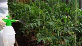 Dirección de muestras experimentales de tomates en el invernadero metrajes