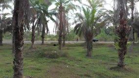 Dirección para servir el vigilar la plantación de la palma almacen de metraje de vídeo