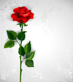 Direct red rose Royalty Free Stock Image