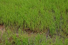 Direct seeded rice at early vegetative  stage in rice field. Green background Stock Photo