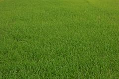 Direct seeded rice at early vegetative  stage in rice field. Green background Royalty Free Stock Photos