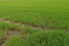 Direct seeded rice at early vegetative  stage in rice field. Green background Royalty Free Stock Photo