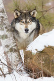Direct stare down by timber wolf. Timber wolf looking forward in aspen trees Royalty Free Stock Photos