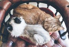 Directement au-dessus du tir de deux chats domestiques se reposant côte à côte sur le fauteuil rouge Photographie stock libre de droits
