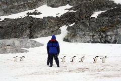Directing traffic, gentoo penguins Royalty Free Stock Photo