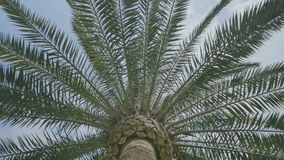 Directly under a palm tree. Medium wide Low angle handheld high dynamic range shot under the trunk of a palm tree during a sunny summer day stock footage